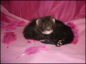 photo couleur furet dans photo couleur furet furet-black-solid1-300x225
