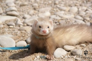 furet-cannelle-self-300x200