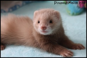 furet-cannelle-solid-300x201